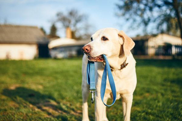 dog holding leash in mouth QCP6YHR