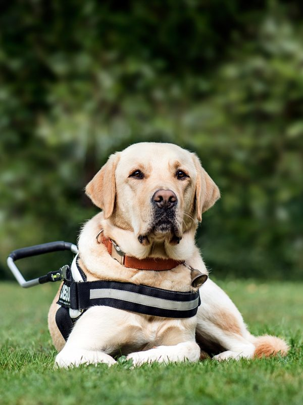 guide dog labrador retriever 2 years old in park DLG2RME